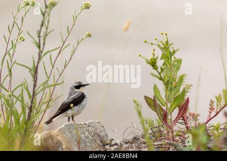 Northern Wheatear- Oenanthe oenanthe - Male bird sits on a small rock - Stock Photo