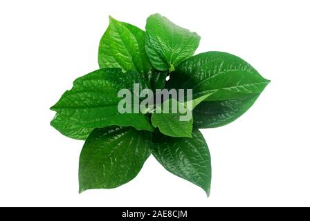 Chaplo leaves on white background.(with Clipping Path). - Stock Photo