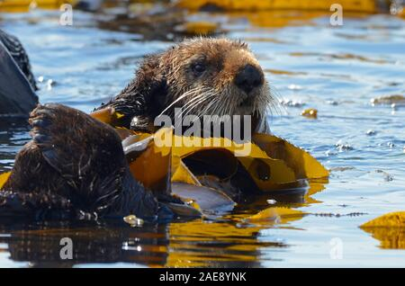 California sea otter, Enhydra lutris, Morro Bay, California. Sea otters wrap themselves in kelp to avoid drifting from their companions. This allows t Stock Photo