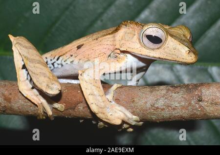 File-eared tree frog, Polypedates otilophus, Kubah National Park, Borneo, Malaysia - Stock Photo