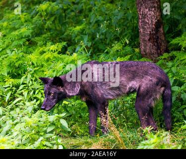Wolf animal close-up profile view in the forest displaying black silver fur coat, head, eyes, ears, muzzle, paws, tail  in its environment and surroun - Stock Photo