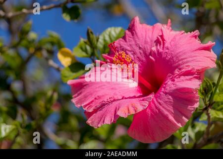Beautiful Hibiscus with pink flowers from Cape Town in South Africa. - Stock Photo