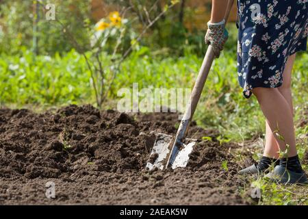 Digging potatoes with shovel on the field from soil. Havest in autumn - Stock Photo