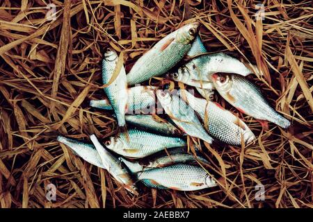 Pile of small fish on old grass, good catch, toned image - Stock Photo