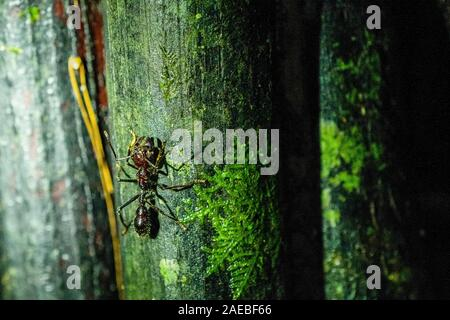 Bullet ant or Conga ant (Paraponera clavata). The sting is one of the most painful of any stinging insect. Some victims compared the pain to that of b