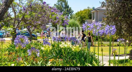 Agapanthus And Jacaranda Tree In Full Bloom At Ardross St Applecross Perth Western Australia Stock Photo Alamy