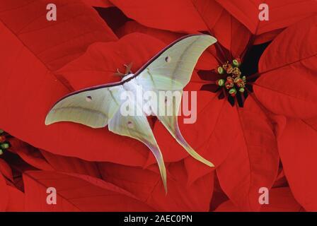 Indian Moon Moth (Actias selene) Male resting on a Poinsettia plant. - Stock Photo