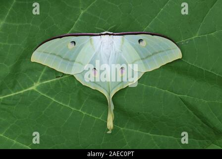Indian Moon Moth (Actias selene) Female resting with wings open. - Stock Photo