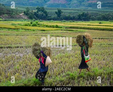 Lai Chau, Vietnam - May 29, 2016. Farmers harvesting rice on the field in Lai Chau, Vietnam. Vietnam is the world second largest rice exporter, second - Stock Photo