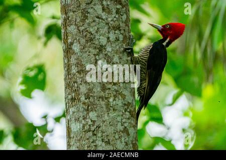 pale-billed woodpecker (Campephilus guatemalensis) is a very large woodpecker that is a resident breeding bird from northern Mexico to western Panama. - Stock Photo