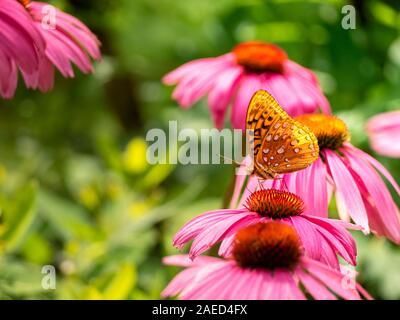 Backlit great spangled fritillary butterfly, Speyeria cybele; aka silverspots, pollinating a native wildflower, a purple coneflower Echinacea purpurea - Stock Photo