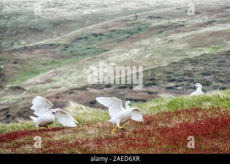 Kelp Geese, Chloephaga hybrida malvinarum, fighting, West Point Island, in the Falkland Islands, South Atlantic Ocean - Stock Photo