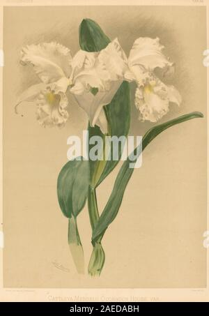 Gustav Leutzsch after Henry George Moon, Cattleya Mendelii Quorndon House Var Cattleya Mendelii Quorndon House Var. - Stock Photo