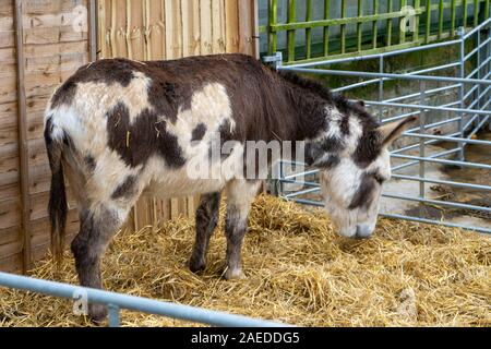A donkey stood on hay in a barn for a nativity scene - Stock Photo