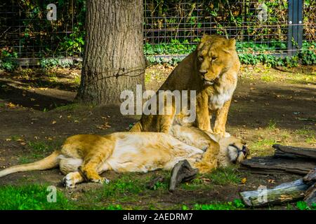 Female Asiatic lion couple together, wild tropical cats, Endangered animal specie from Asia - Stock Photo