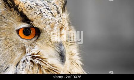 Close-up view of white owl with golden orange eyes.