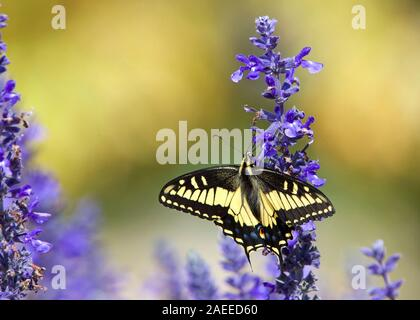 Close up eastern tiger swallowtail butterfly drinking nectar from purple flowers.