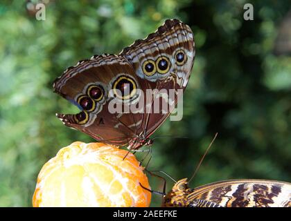 Blue Morpho on top of orange facing Common Buckeye butterfly on bottom both feeding from a freshly peeled orange. Wing damaged missing large section a
