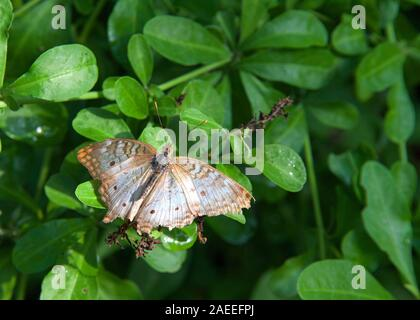 Anartia jatrophae, white peacock. View from above resting on green leaves with tattered wings fully extended.