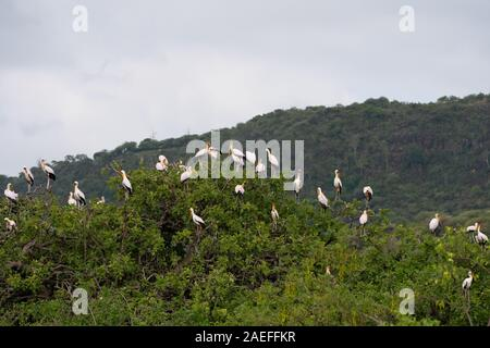 Nesting Colony Yellow-billed stork  (Mycteria ibis) wood stork - Stock Photo
