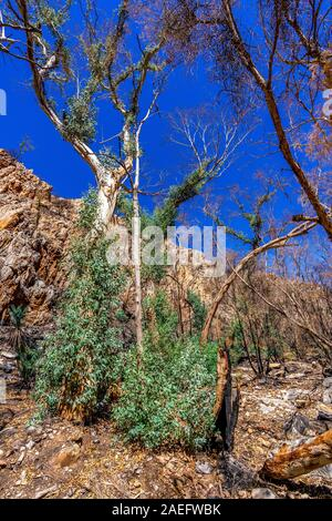 After effects of the Jan 2019 bushfires and subsequent regrowth in the West MacDonnell Ranges and the devasting effects within the Stanley Chasm area. - Stock Photo