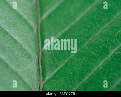 Elephant apple leaves ,Dillenia indica or chalta, green leaves has medicinal properties close-up detail, green background - Stock Photo
