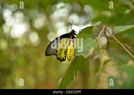 Korat Plateau: a butterfly on a leaf, pasakdek - Stock Photo