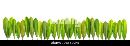 Close-up Elephant apple leaves on white isolated ,Dillenia indica or chalta, green leaves has medicinal properties. - Stock Photo