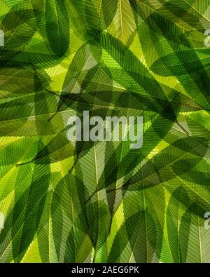 Close-up Elephant apple leaves on white isolated ,Dillenia indica or chalta, green leaves has medicinal properties., green background, pattern leaf - Stock Photo