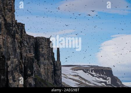 Nesting colony of Thick-billed murre or Brunnich's guillemot (Uria lomvia)  at Aalkefjellet Hinlopenstretet Spitsbergen, Svalbard, home to over 60,000 - Stock Photo
