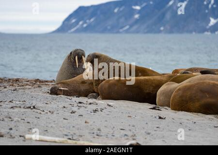 Atlantic walrus (Odobenus rosmarus rosmarus). This large, gregarious relative of the seal has tusks that can reach a metre in length. Both the male (b - Stock Photo