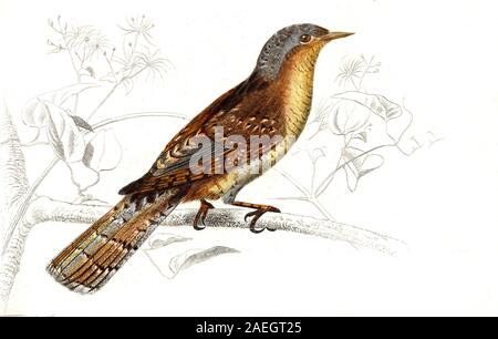 Eurasian wryneck or northern wryneck (Jynx torquilla) is a species of wryneck in the woodpecker family  /  Wendehals, Jynx torquilla, Vogel, Digital reproduction of an original print from the 19th century - Stock Photo