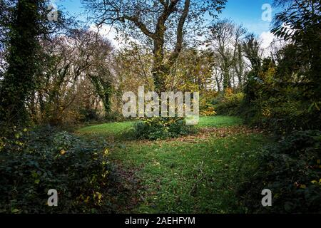 Colan Woods. A Sweet Chestnut tree Castanea sativa growing in the overgrown grounds of the historic Fir Hill Manor in Colan Parish in Newquay in Cornw - Stock Photo