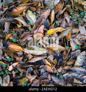 Sweet Chestnut Castanea sativa tree leaves lying on the ground in autumn. - Stock Photo