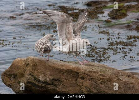 Herring Gulls, Larus argentatus,  Two immatures, one landing on rock and other showing aggression, Seahouses, Northumberland, UK. - Stock Photo