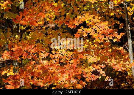 A beautifully colored maple tree in autumn on Foothills Parkway West in Great Smoky Mountains National Park. - Stock Photo