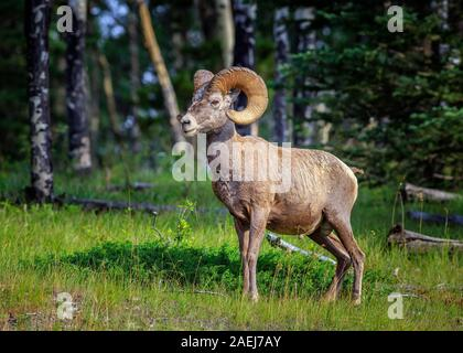 Bighorn Sheep, Ovis canadensis, in the Canadian Rockies, Banff National Park, Alberta, Canada. - Stock Photo