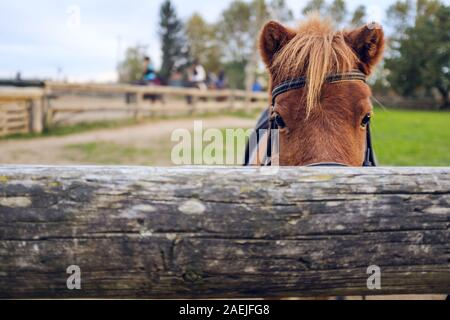 Cute brown hairy pony horse hiding on a wood fence - Stock Photo