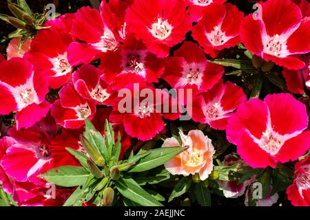Godetia 'Scarlet' Red flowers - Stock Photo
