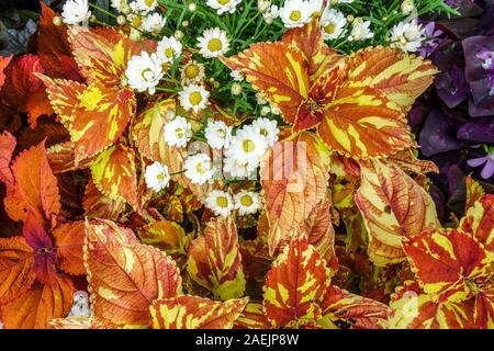Orange Coleus scutellarioides 'Freckles' plant, decorative annealed leaves - Stock Photo