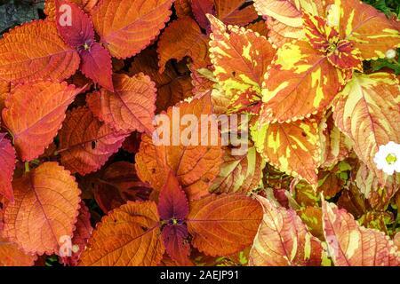 Orange Coleus scutellarioides 'Freckles' plant, Beautiful decorative annealed leaves - Stock Photo