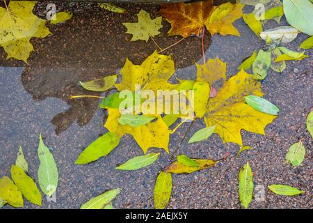 Autumn puddle after rain with colorful autumn leaves in reflection water in autumn colors in the fall. Fallen autumn leaves in puddle