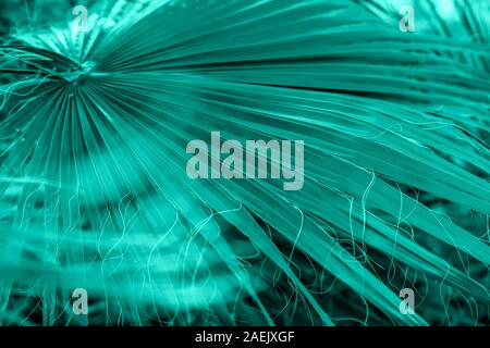 Natural tropical green mint background of palm tree leaf with light haze, foliage, jungle texture in fashionable trendy color - Stock Photo