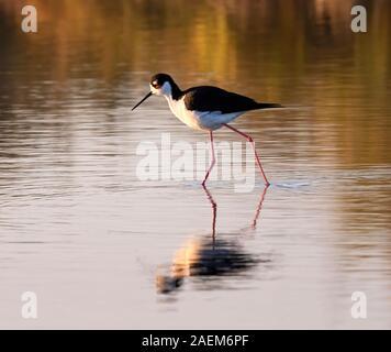 Black-necked stilt (Himantopus mexicanus) wading in the tidal marsh   in the sunset light, Texas, USA. - Stock Photo