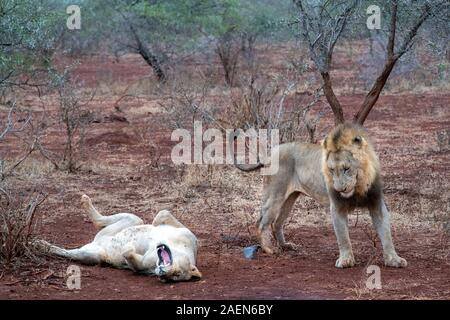 mating season for lion and lioness in kruger park south africa - Stock Photo