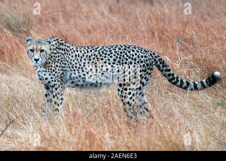 hunting cheetah portrait in kruger park south africa close up - Stock Photo