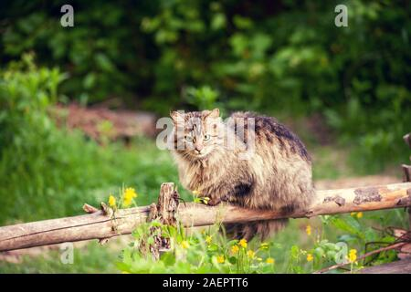Siberian cat sitting on a wooden fence. Longhair cat outdoors in the countryside in summer - Stock Photo