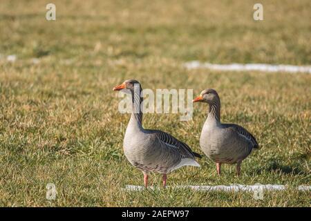 Graugänse (Anser anser) Greylag Geese • Baden-Wuerttemberg, Deutschland - Stock Photo