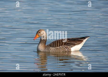 Graugans (Anser anser) Greylag Goose • Baden-Württemberg, Deutschland - Stock Photo