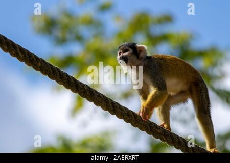 A close up portrait of a squirrel monkey with some food in its mouth. The capuchin monkey is walking over a rope. - Stock Photo
